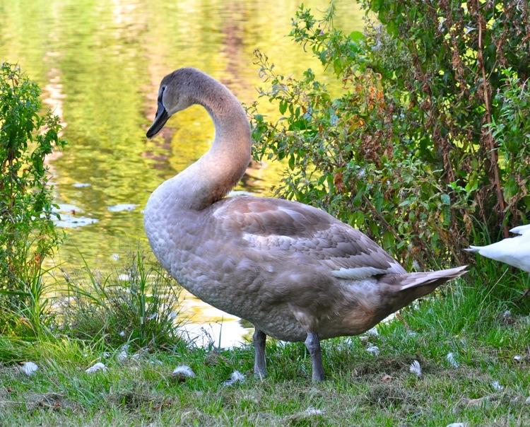 Серый Лебедь
