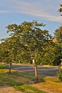 Неизвестное дерево